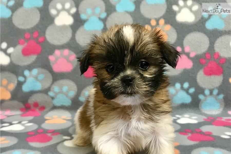 Autumn Shih Tzu Puppy For Sale Near Hattiesburg Mississippi