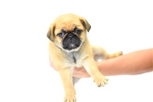 Picture of Peek A Pug