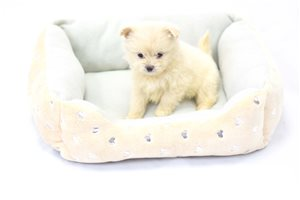 Picture of Shih Pom