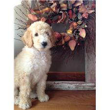 View full profile for Bryant Family Goldendoodles Of Kansas