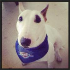 View full profile for Mini Bull Terrier Okc