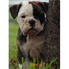 View full profile for Carter Ranch English Bulldogs
