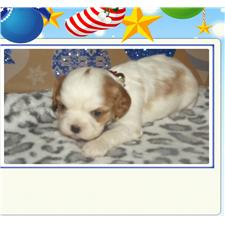 View full profile for B And S Loveable Puppies