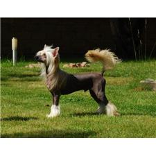View full profile for Golden Diamond Chinese Crested