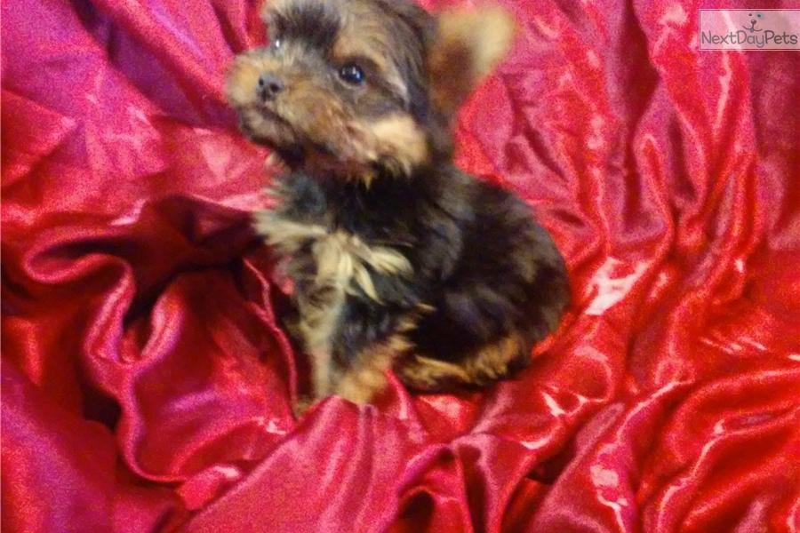 Baby Yorkshire Terrier Yorkie Puppy For Sale Near Richmond