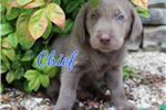 Picture of Chief - Silver Lab