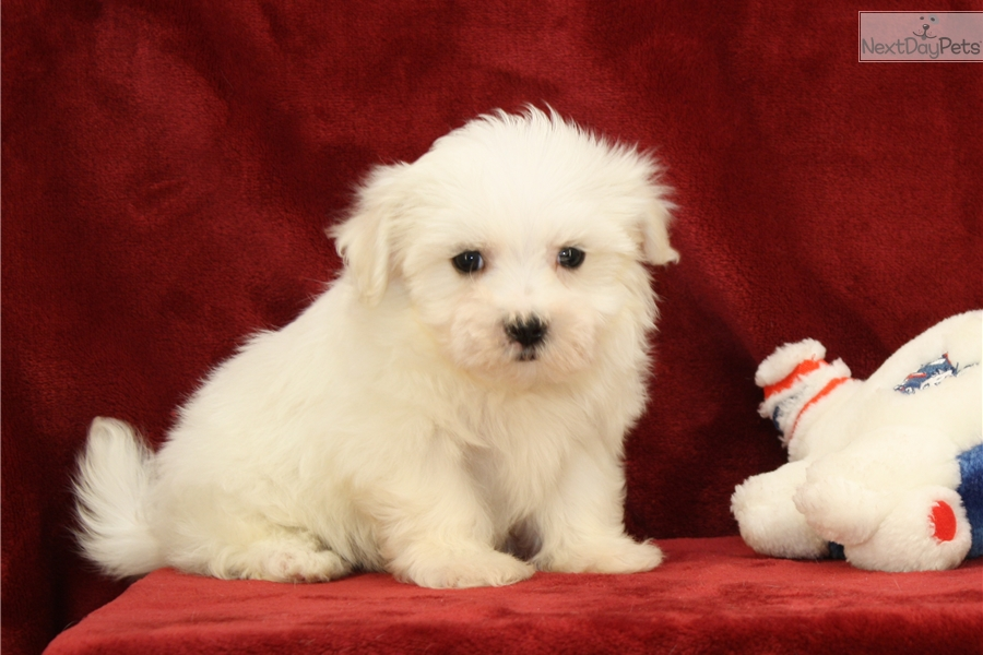 maltese puppies near me maltese puppy for sale near lancaster pennsylvania 4796