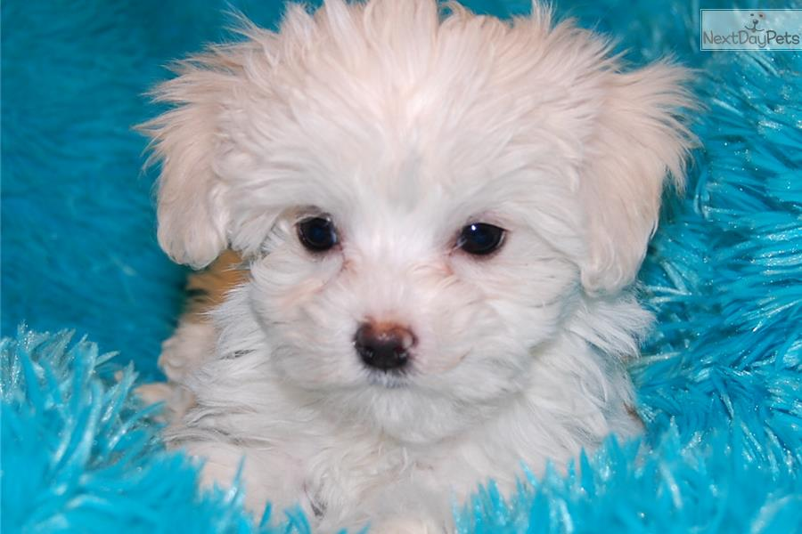 maltese breeders indiana maltese puppy for sale near fort wayne indiana 004f2c81 8581