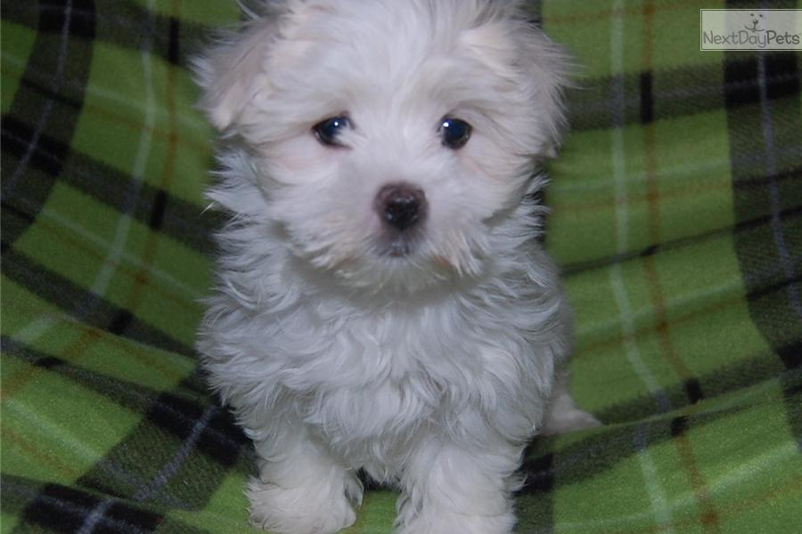 maltese breeders indiana maltese puppy for sale near fort wayne indiana 66df32cc 8412