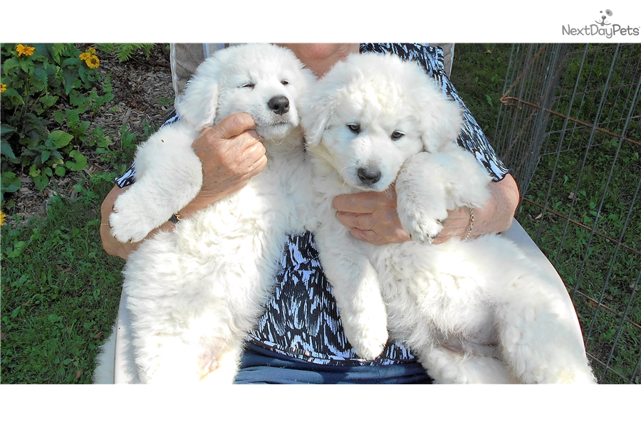 Kuvasz Puppy For Sale Near Toronto Ontario Ac73e15a 72d1