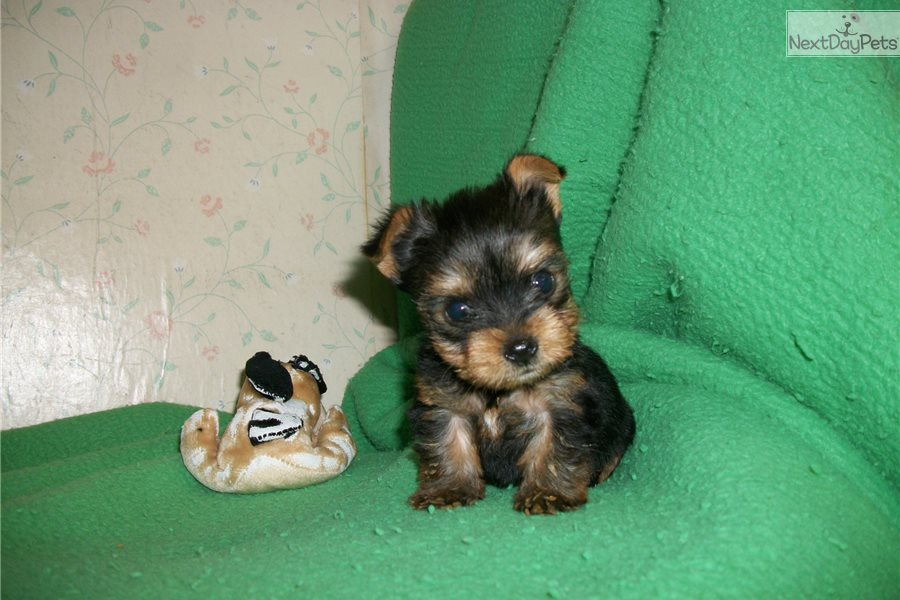 Posie: Yorkshire Terrier - Yorkie puppy for sale near Long