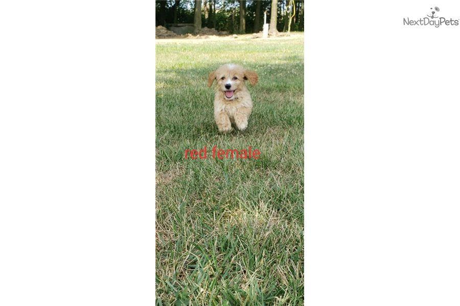Accolades and breeding experience for your Golden Retriever breeder
