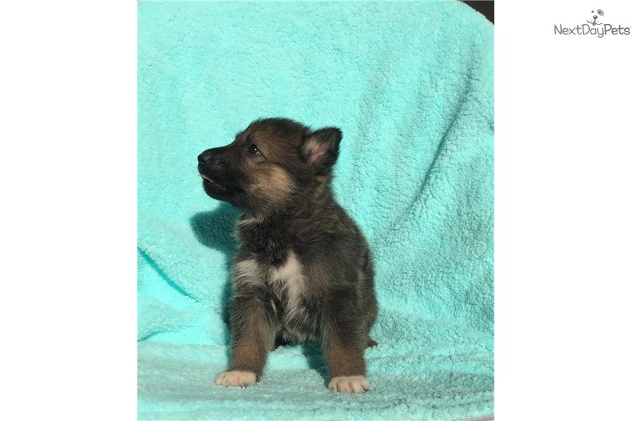 German Shepherd Puppy For Sale Near Tampa Bay Area Florida