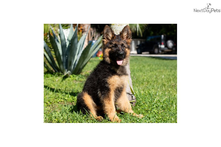 bay area german shepherd german shepherd puppy for sale near ta bay area 8863