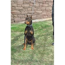 View full profile for Red Iron Dobermans