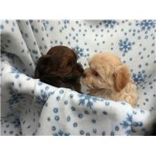 View full profile for T & T's Havanese Cuties