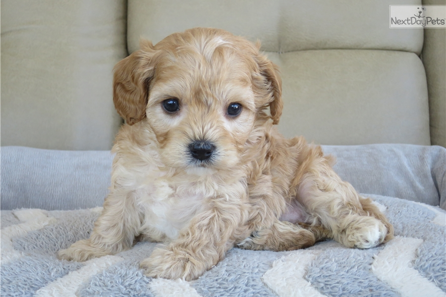 Anna : Cavapoo puppy for sale near South Bend / Michiana