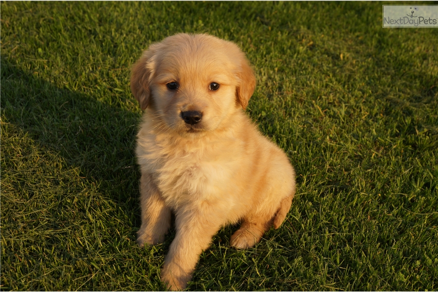 Golden Retriever puppy for sale near South Bend / Michiana ...