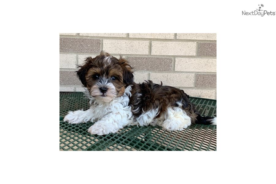 Rocky: Havanese puppy for sale near South Bend / Michiana ...