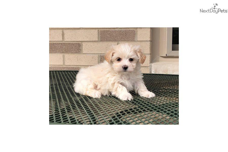 Jj: Mal-Shi - Malshi puppy for sale near South Bend / Michiana