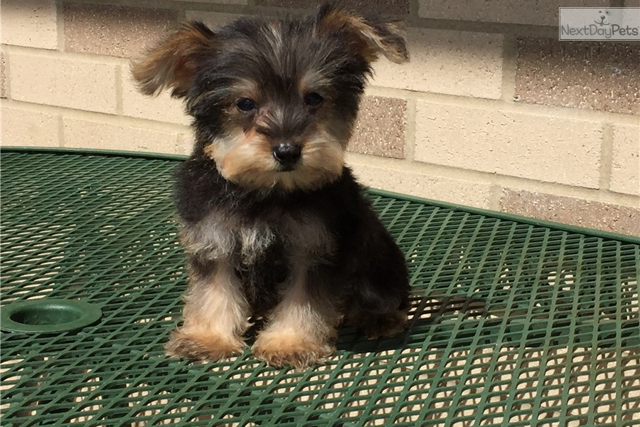Matthew Snorkie Puppy For Sale Near South Bend Michiana Indiana