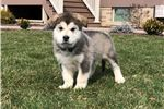 Emmett  | Puppy at 10 weeks of age for sale