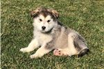 Gwen  | Puppy at 10 weeks of age for sale