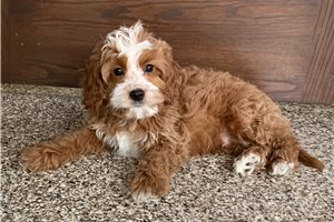 Picture of a Barbet Puppy