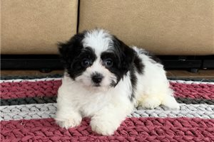 Maybel | Puppy at 10 weeks of age for sale
