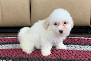 Sugar | Puppy at 10 weeks of age for sale