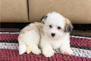 Amos | Puppy at 10 weeks of age for sale
