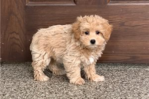 Picture of a Poo-Ton Puppy