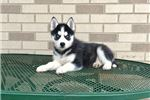 Alaskan Malamute for sale
