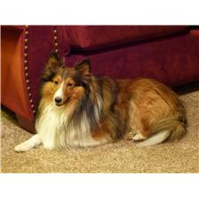 View full profile for Hughes Shelties