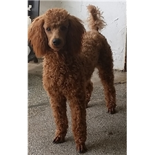 View full profile for Springbrook Poodles