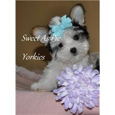 View full profile for Sweet As Pie Yorkies