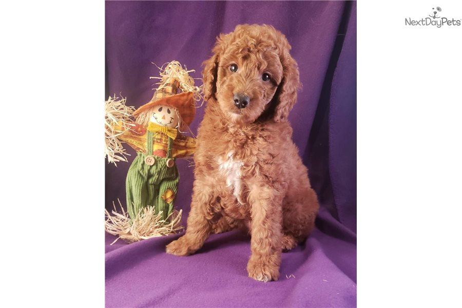 Pumba Labradoodle Puppy For Sale Near Colorado Springs