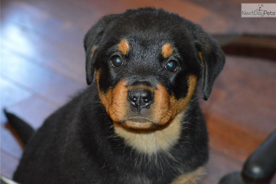 Rottweiler Puppy For Sale Near Los Angeles California