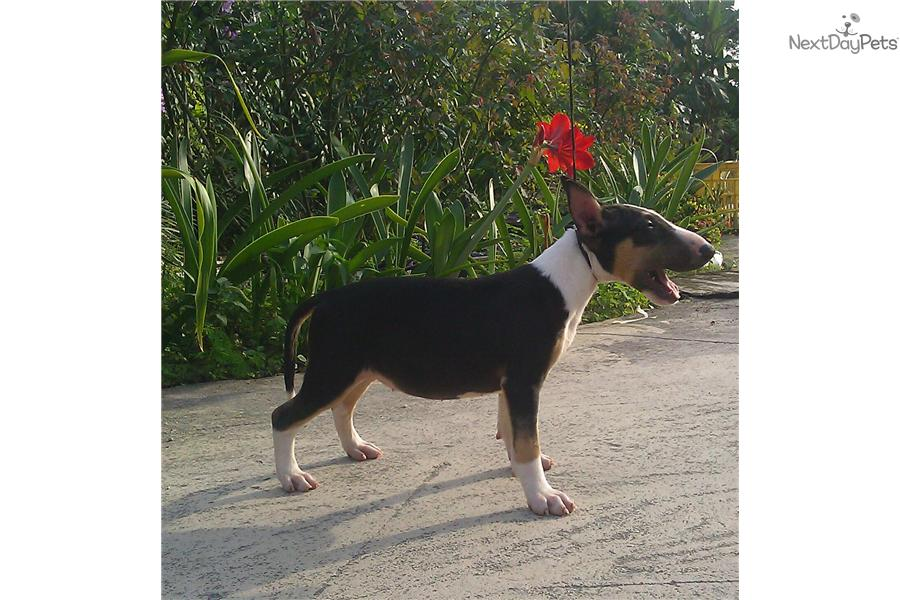 Sale Miniature Bull Terrier Puppy For Sale Near South