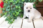 Picture of Little Miss Creamy AKC