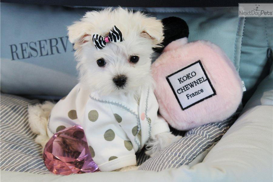 Maltese Maltese Puppy For Sale Near West Palm Beach Florida