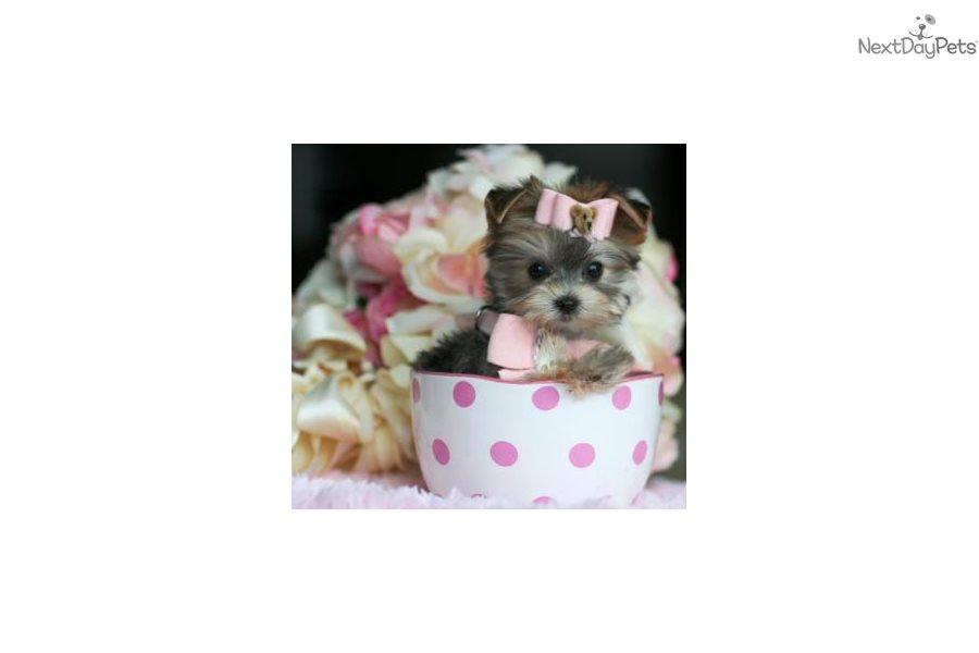 Morkie Morkie Yorktese Puppy For Sale Near West Palm