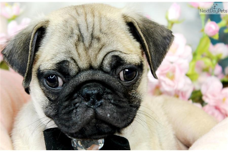Pug Pug Puppy For Sale Near West Palm Beach Florida C35bd40c 3751