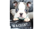 Picture of Blue Boston terrier