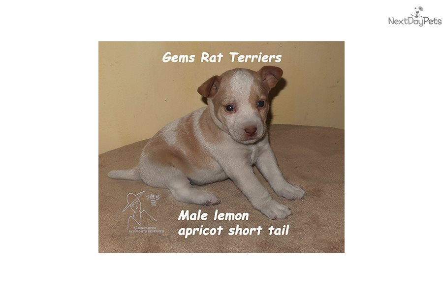 Rat Terrier puppy for sale near Long Island, New York