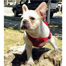 View full profile for Aphrodite French Bulldogs