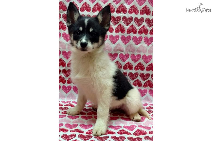 Kala Pomsky Puppy For Sale Near Lynchburg Virginia C0257722 6801