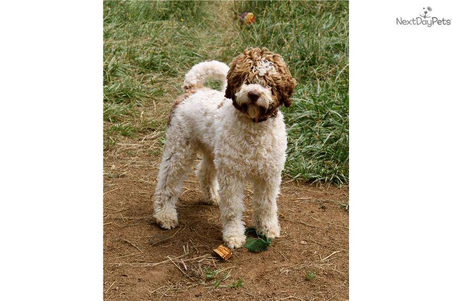 Truffle Training Dog Price
