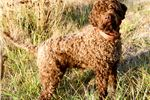 Picture of LAGOTTO ROMAGNOLO PUPPY  OUT OF DCKLAGOTTO YEMMA
