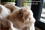 Picture of PBVH Lagotto world class puppies avaiable